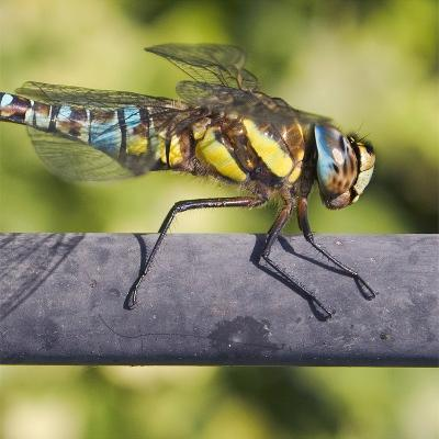 Southern Darter-Adrian Campfield-Photographic Print