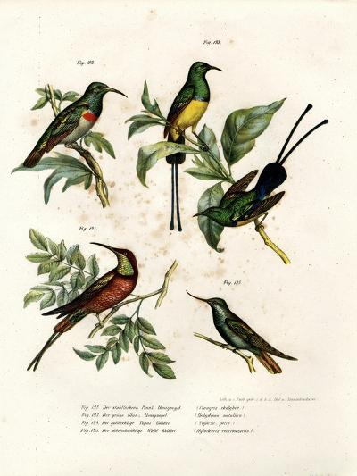 Southern Double-Collared Sunbird, 1864--Giclee Print