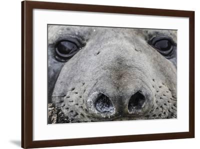 Southern Elephant Seal Bull (Mirounga Leonina), Polar Regions-Michael Nolan-Framed Photographic Print