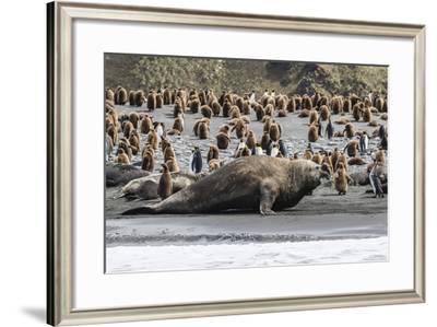 Southern Elephant Seal Bulls (Mirounga Leonina) Charging on the Beach in Gold Harbor, South Georgia-Michael Nolan-Framed Photographic Print