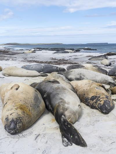Southern Elephant Seal Males on Sandy Beach, Falkland Islands-Martin Zwick-Photographic Print