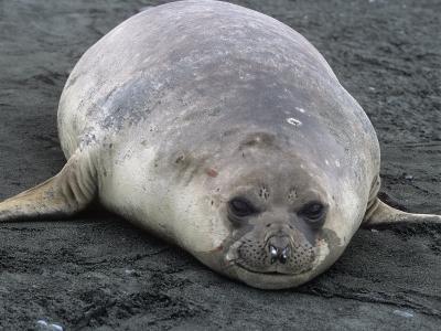 Southern Elephant Seal, Mirounga Leonina, South Georgia Islands, Antarctic Region-Gerald & Buff Corsi-Photographic Print