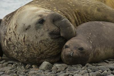Southern Elephant Seals Mating-Joe McDonald-Photographic Print