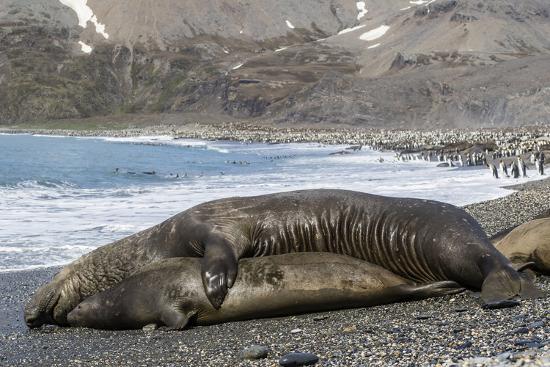 Southern Elephant Seals (Mirounga Leonina) Mating, St. Andrews Bay, South Georgia, Polar Regions-Michael Nolan-Photographic Print