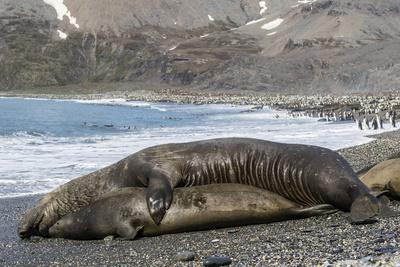 https://imgc.artprintimages.com/img/print/southern-elephant-seals-mirounga-leonina-mating-st-andrews-bay-south-georgia-polar-regions_u-l-pwfzo50.jpg?p=0