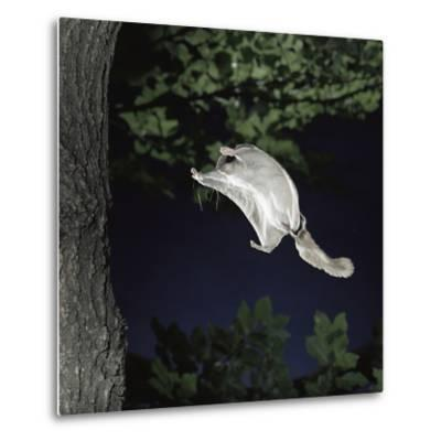 Southern Flying Squirrel (Glaucomys Volans) Landing on Tree Trunk, Captive