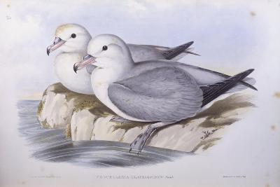 Southern Fulmar (Fulmarus Glacialoides)-John Gould-Giclee Print