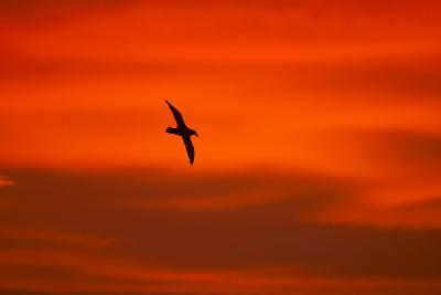 Southern Giant Petrel in Flight at Sunset--Photographic Print