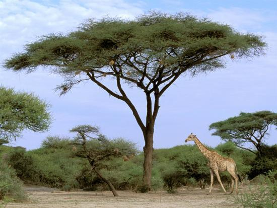 Southern Giraffe and Acacia Tree, Okavango Delta, Botswana-Pete Oxford-Photographic Print