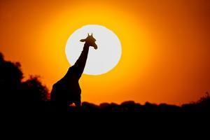 Southern Giraffe (Giraffa camelopardalis) at sunset, Etosha National Park, Namibia