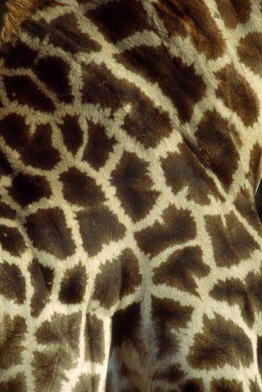 Southern Giraffe Markings--Photographic Print