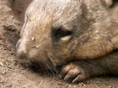 Southern Hairy Nosed Wombat, Australia-David Wall-Photographic Print