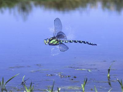 Southern Hawker Dragonfly Male Hovering Over Pond, UK-Kim Taylor-Photographic Print