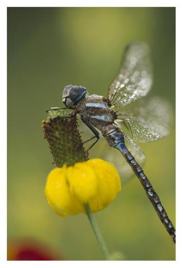 Southern Hawker Dragonfly on Prairie Coneflower , New Mexico-Tim Fitzharris-Art Print