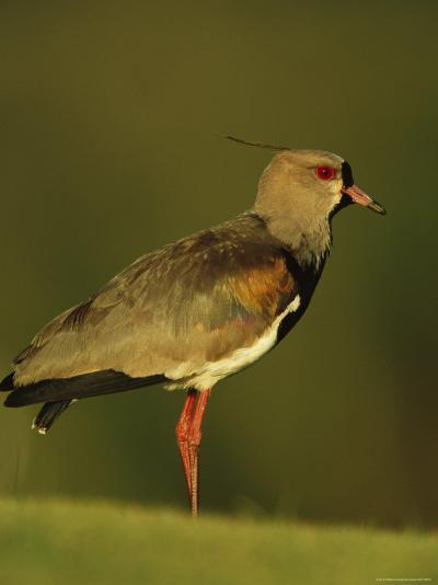 Southern Lapwing, Argentina-Roy Toft-Photographic Print