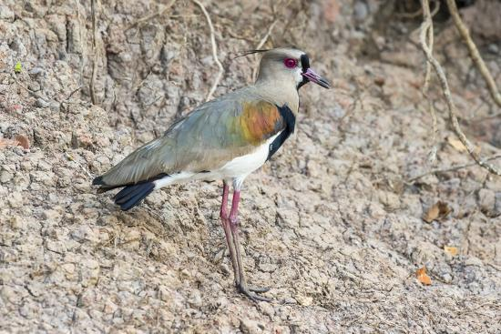 Southern Lapwing (Vanellus Chilensis), Pantanal, Mato Grosso, Brazil, South America-G&M Therin-Weise-Photographic Print
