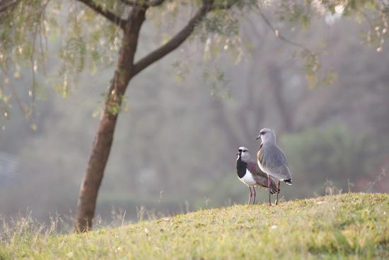 Southern Lapwing, Vanellus Chilensis, Standing by a Tree in Ibirapuera Park-Alex Saberi-Photographic Print