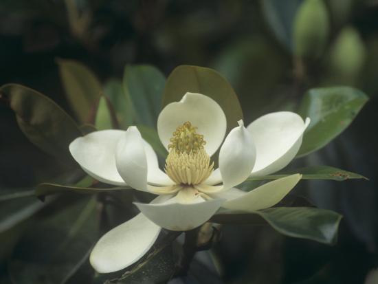 Southern Magnolia Flower Magnolia Grandiflora Southern North