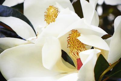Southern Magnolia II-Alan Hausenflock-Photographic Print