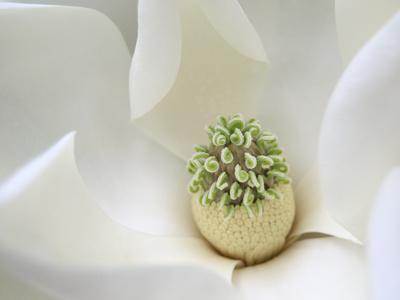https://imgc.artprintimages.com/img/print/southern-magnolia_u-l-q12yeoj0.jpg?p=0