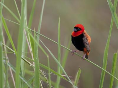 Southern Red Bishop Bird, Euplectes Orix, in Bright Breeding Plumage-Roy Toft-Photographic Print