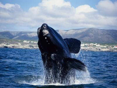 Southern Right Whale, Breaching, S Africa-Gerard Soury-Photographic Print