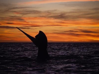 Southern Right Whale, Female at Sunset, Valdes Penin-Gerard Soury-Photographic Print