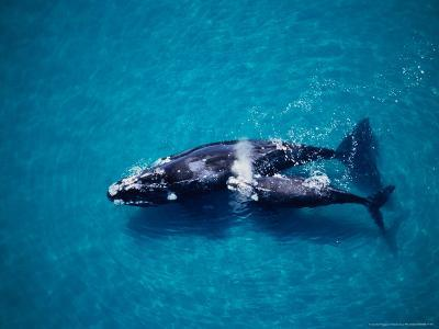 Southern Right Whale, Mother and Calf, Valdes Penins-Gerard Soury-Photographic Print