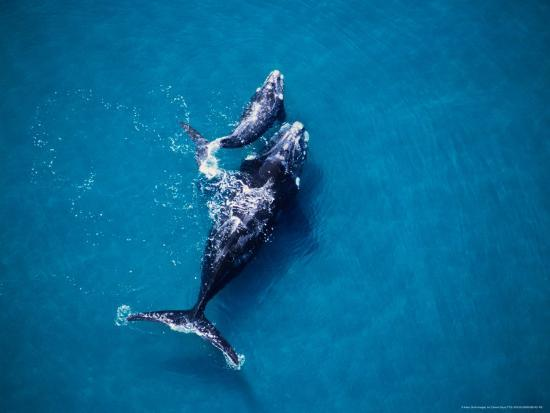 Southern Right Whale, Mother and Calf-Gerard Soury-Photographic Print