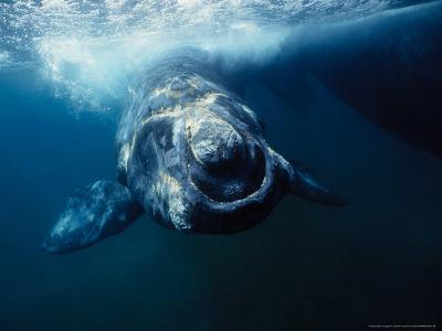 Southern Right Whale, Under Surface, Peninsula Valdes-Gerard Soury-Photographic Print