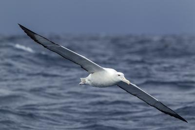 Southern Royal Albatross (Diomedea Epomophora) Flying Low over the Sea-Brent Stephenson-Photographic Print