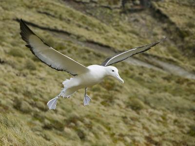 Southern Royal Albatross-DLILLC-Photographic Print