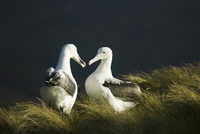 Southern Royal Albatross-DLILLC-Photographic Print