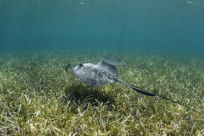 Southern Stingray and Bar Jack, Belize Barrier Reef, Belize-Pete Oxford-Photographic Print