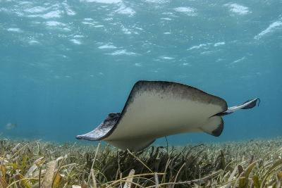 Southern Stingray, Belize Barrier Reef, Belize-Pete Oxford-Photographic Print