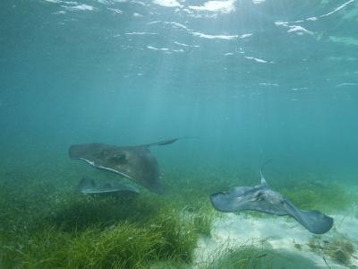 Southern Stingrays Glide Gracefully Through Pristine Waters-Wolcott Henry-Photographic Print