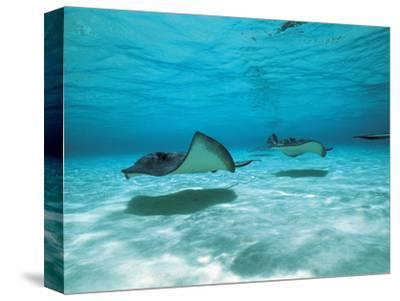 Southern Stingrays in Sea Water