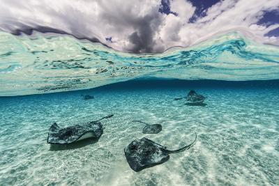Southern Stingrays Swim across the Shallow White Sands Off Grand Cayman Island-David Doubilet-Photographic Print