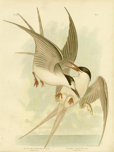 Southern Tern, 1891-Gracius Broinowski-Giclee Print