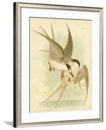 Southern Tern, 1891-Gracius Broinowski-Framed Giclee Print