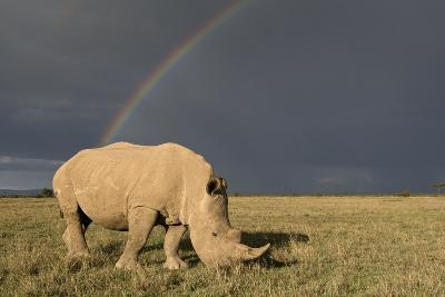 Southern White Rhinoceros Feeding with Rainbow--Photographic Print