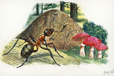 Southern Wood Ant or Horse Ant Formica Rufa--Giclee Print