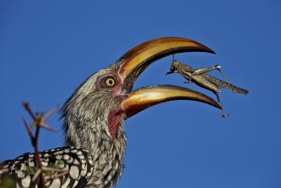 Southern Yellow-Billed Hornbill (Tockus Leucomelas) Flipping a Grasshopper-James Hager-Photographic Print