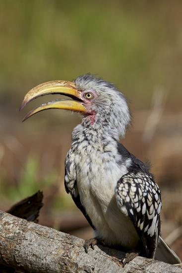 Southern Yellow-Billed Hornbill (Tockus Leucomelas), Kruger National Park, South Africa, Africa-James Hager-Photographic Print