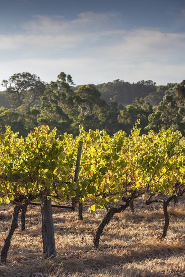 Southwest Australia, Margaret River Wine Region, Vineyard-Walter Bibikow-Photographic Print