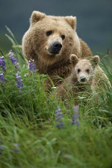 Sow Grizzly and Cubs in Grass Hallo Bay Katmai Np Alaska-Design Pics Inc-Photographic Print