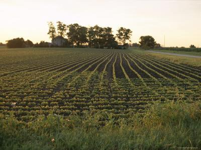 Soy Bean Field, Hudson, Illinois, Midwest, USA-Ken Gillham-Photographic Print