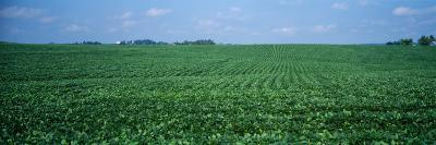 Soybean Crop in a Field, Tama County, Iowa, USA--Photographic Print
