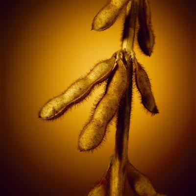 Soybean Pods--Photographic Print