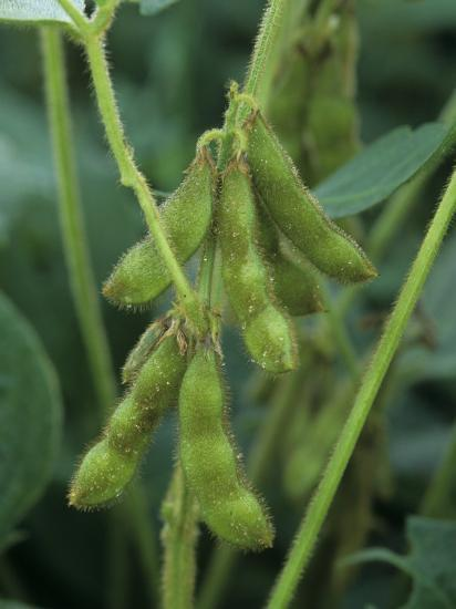 Soybeans on the Plant-David Sieren-Photographic Print